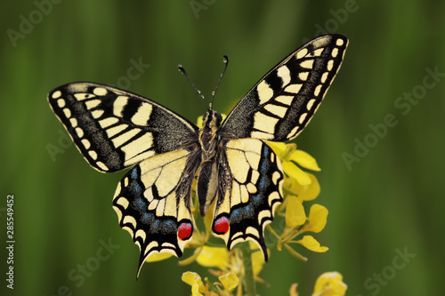 Fotografía Swallowtail butterfly ; Papilio machaon