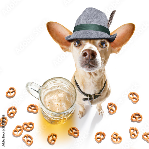 Foto op Canvas Crazy dog bavarian beer chihuahua dog