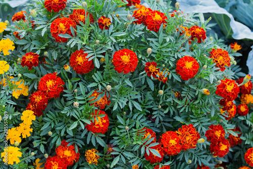 Beautiful marigold flowers. Close-up marigold flowers Canvas Print