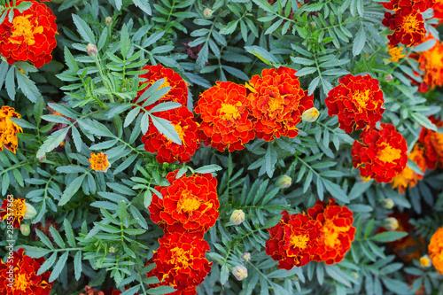 Photo Beautiful marigold flowers. Close-up marigold flowers
