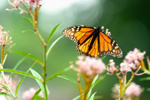 Monarch Butterfly On Milkweed ...