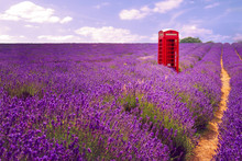 Telecommunication In Rural Areas And Idyllic Countryside Concept Theme With A Vintage English Telephone Box Or British Phone Booth In The Middle Of Blooming Lavender Field In United Kingdom
