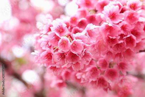 Poster Rose clair / pale Vintage sakura or cherry blossom