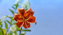 Close Up Of A Beautiful Bright Orange Dotted Tiger Lily Against A Clear Blue Sky. There Is A Place For Text