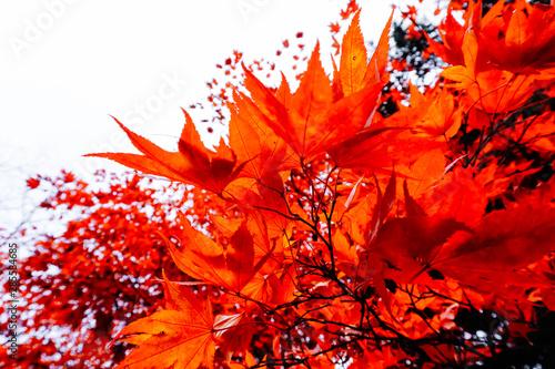 Foto auf Leinwand Rot Autumn season of tree and leaves