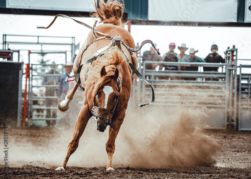 Wild horse bucking and rearing after throwing off the cowboy during bronco ridin Canvas Print