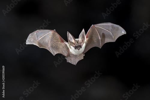 Foto Flying Grey long eared bat