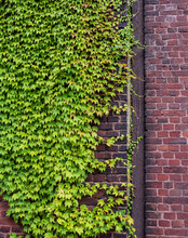 The Brick Wall And Green Ivy Leaves