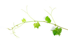 Grape Leaves Vine Branch With ...