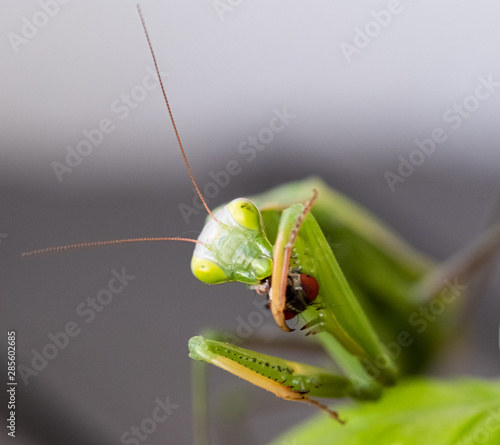 Praying mantis eating a fly Wallpaper Mural