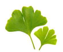 Ginkgo Biloba Leaves On A White Background