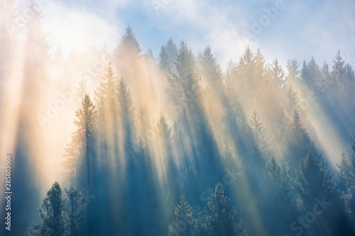 Obraz sun light through fog and clouds above the forest. spruce trees on the hill viewed from below. fantastic nature scenery. morning motivation concept - fototapety do salonu