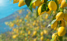 Beautiful Lemon Garden, Bunche...
