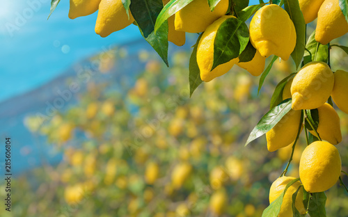 Cuadros en Lienzo Beautiful lemon garden, bunches of fresh yellow ripe lemons with green leaves