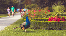 Peacock In The Park (with Path...