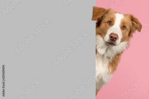 Photo  Portrait of a red border collie dog looking around the corner of a grey empty bo