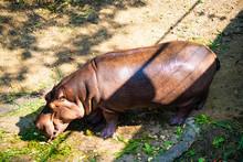 The Common Hippopotamus, Hippopotamus Amphibius, Or Hippo, Is A Large, Mostly Herbivorous, Semiaquatic Mammal Native To Sub-Saharan Africa.