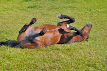 Funny Beautiful Foal Rolling I...