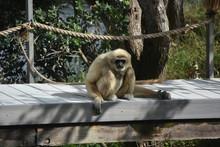 Javan Langur Monkey Sitting On A Wooden Bridge