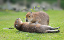 Closeup Of Two Capybara (Hydro...