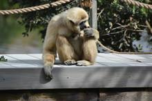 Javan Lutung Monkey Smelling Something As He Sits
