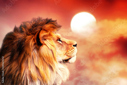 Foto op Plexiglas Leeuw African lion and sunset in Africa. African savannah landscape theme, king of animals. Proud dreaming noble lion in savanna looking to sky. Amazing warm sun light and blazing red cloudy sky.