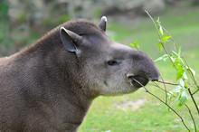 Profile Portrait Of South American Tapir (Tapirus Terrestris) Eating Leaves