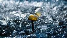 Tender Beautiful Butterfly On A Yellow Water Lily On A Background Of Water And Rain. Summer Artistic Image. Free Space For Text.