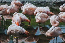 Sleepy Flamingos
