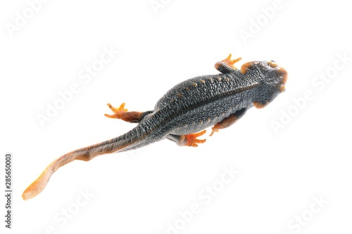 black newt Tylototryton verrucosus isolated on white Wallpaper Mural