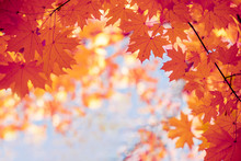 Bright Yellow Autumn Maple Leaves Against The Sky. Screensaver, Natural Back Natural Autumn Background.