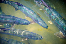 Sun-dappled View From Above Of The Shimmery Rainbow Scales Of A Group Of Large Tarpon Fish In Green Water