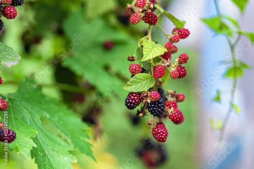 Fotografia, Obraz  Large, ripe garden BlackBerry - ozhina