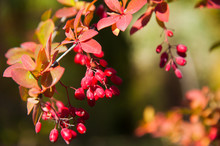 Red Berries Of The Barberry On Autumn Thorny Branch