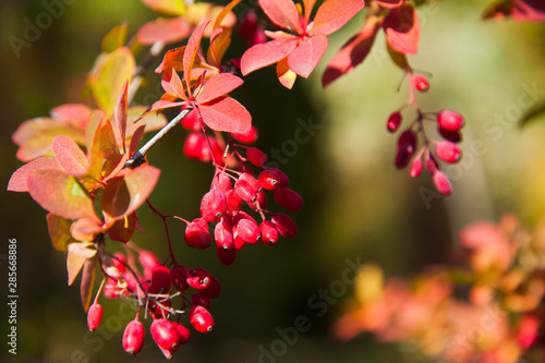 Red berries of the barberry on autumn thorny branch Canvas Print