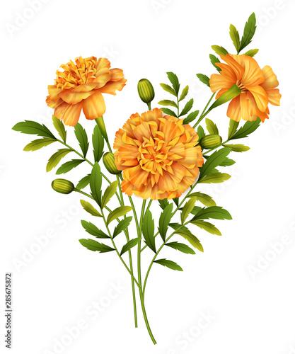 Fotografía  Marigold Flowers Vector