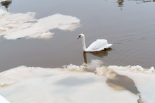 Swan In A Polluted River, Whit...