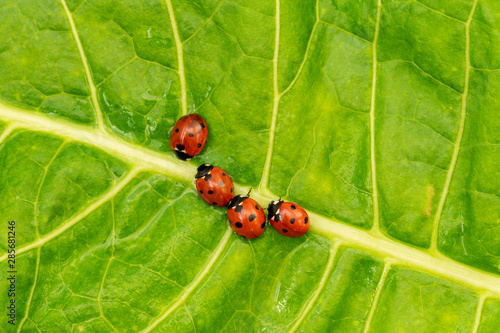 Fotografia, Obraz Ladybugs family on the green leaf