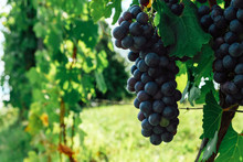 Bonarda Or Douce Noir Grapes G...