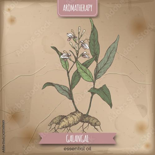 Alpinia galanga aka greater galangal color sketch on vintage background Canvas Print