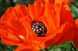 canvas print picture - mohnblumen blüten nahaufnahmen