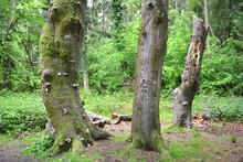 Alte Buchen Im Darßwald