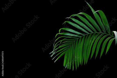 Canvas Prints Palm tree Tropical rainforest palm leaves foliage plant growing in wild isolated on black background.