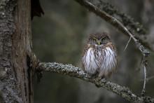 Male Eurasian Pygmy Owl (Glaucidium Passerinum)