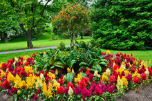 Red And Yellow Feathery Celosia Planted In A Flower Bed In Halifax Public Gardens