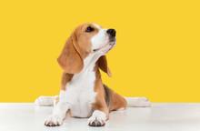 Beagle Tricolor Puppy Is Posin...