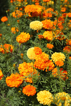 Beautiful Decorative Marigolds...