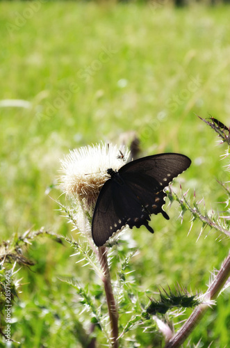 Black Butterfly on a Flower Seen from Above