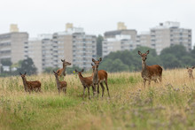 Doe Family Front Of The City In Richmond Park