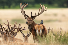 Bird With Red Deer In Richmond Park